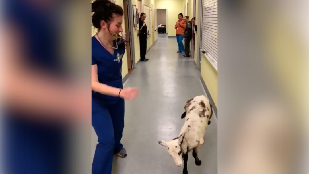 Pani weterynarz i jej owieczka we wspólnym tańcu radości