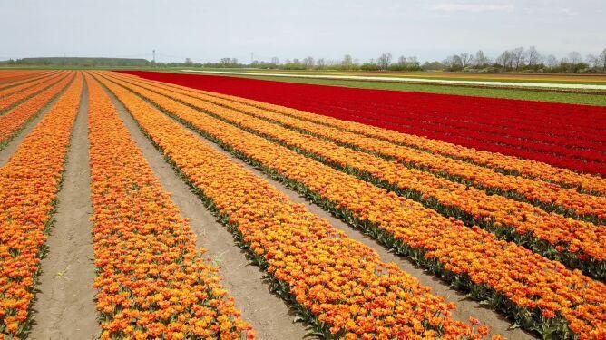 To nie Holandia. Morze tulipanów w Polsce