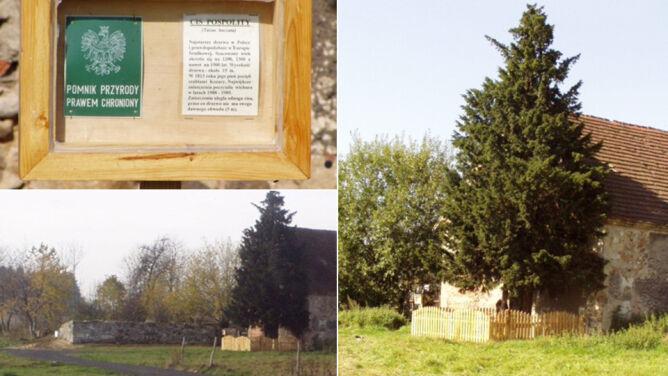 Najstarsze drzewo w Polsce zagrożone
